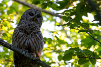 Barred Owl Encounter